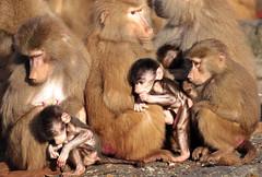 Hamadryas baboon Emmen JN6A9223 (j.a.kok) Tags: baboon emmen baviaan hamadryasbaboon papiohamadryas mantelbaviaan