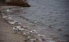 Seagulls at Barnegat Bay (scottnj) Tags: seagulls water bay waves seagull shore barnegatbay 365project 15365 tookapic scottnj cy365 scottodonnellphotography redditphotoproject