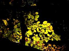 Lichtblick im finsteren Walde (Tino S) Tags: light leaves forest licht buchenwald laub wald beech gegenlicht buche