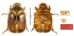 Platycoelia aenigma Smith, 2003 (Scarabaeidae: Rutelinae) Holotype (NHM Beetles and Bugs) Tags: rutelinae