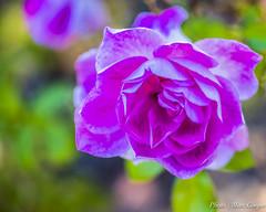 Anglų lietuvių žodynas. Žodis magenta pink reiškia purpurinė rožinė lietuviškai.