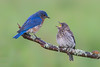 Eastern bluebirds (Phiddy1) Tags: baby toronto ontario canada male birds bluebird easternbluebird maleandbaby