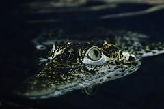 Cuban Crocodile (Crocodylus rhombifer) _DSC0059 (ikerekes81) Tags: zoo washingtondc smithsonian dc nikon reptile national crocodile nationalzoo kerekes cuban ik istvan rdc nikond3200 dczoo smithsoniannationalzoologicalpark smithsoniannationalzoo d3200 washingtondczoo reptilediscoverycenter zoosmithsonian cubancrocodile 18105mm crocodylusrhombifer sb700 istvankerekes reptilediscoverycenterzoonationalnational