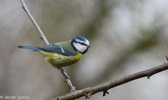Blue Tit-9438 (Wildlife Boy1) Tags: nature birds nikon wildlife jacob spinks 2016 nikonlens scaldwell wildlifephotography nikond7100