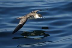 Bird over the ocean (alicehanton) Tags: ocean sea usa fish birds america boat seaside fishing sand capecod seagull beak feathers plymouth icecream whales osprey massachussets