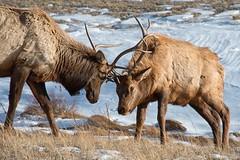 Round Three (dbushue) Tags: winter snow mountains colorado bulls antlers valley elk fighting estespark 2016 wildife devilsgulchroad