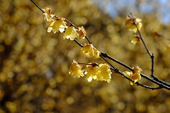 an overblown wintersweet (photoholic image) Tags: twig wintersweet