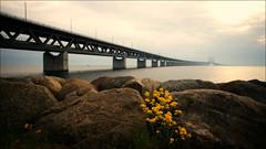 The link to the other side (*Kicki*) Tags: bridge sea sky flower yellow denmark evening skåne rocks sweden explore boulders link bro malmö otherside öresund öresundsbron flickrexplore explored närrapsenblommar