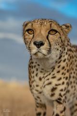 Hello you ..... (ClaudiB.) Tags: nature animal animals tiere nikon wildlife wildanimal cheetah cheetahs tier gepard geparden nikond7100
