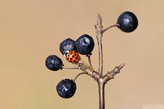 The Balloon Lady (Vie Lipowski) Tags: nature fruit bug insect berry berries wildlife beetle ladybird ladybug ladybeetle wildberry