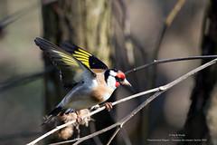 Chardonneret lgant (Guy&Nicole) Tags: bird oiseau cardueliscarduelis europeangoldfinch chardonneretlgant fringillids passriformes