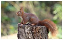 sur le podium... (guiguid45) Tags: nature nikon squirrel animaux forêt écureuil sauvage loiret mammifères 500mmf4 d810