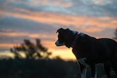 Early Bird Bonny 6/52/2016 (smile KB) Tags: morning dog dogs clouds sunrise for weeks bonny 52