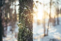 (DrowsyPotato) Tags: tree nature 35mm sweden bokeh f14 sony 350 100 mm fe za 1500 bokehlicious 14 ilce7rm2
