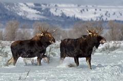 Shiras Moose (Alces alces shirasi) DDZ_7147 (NDomer73) Tags: 28december2015 december 2015 tetons mammal shirasmoose grandtetonnationalpark grandteton moose