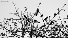 Avian Academic Arena: Crow Classroom: Pancha Paandavas! (Raj the Tora) Tags: aves murder crow crows avian murderofcrows corvus avians corvussplendens housecrow crowsmurder crowssilhouette crowcolony avianacademia avianacademics avianacademicarena avianarena aviansacademics splendans housecrowgroup housecrowschool housecrowmurder murderofhousecrows