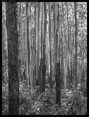 B0002477 copy (mingthein) Tags: blackandwhite bw india 6x6 monochrome digital zeiss forest t landscape availablelight hasselblad medium format ming cf ooty coonoor nilgiris sonnar 501cm onn 4150 thein photohorologer 150f4 mingtheincom cfv50c mingtheingallery