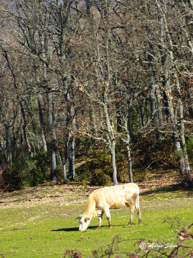 Águas Frias (Chaves) - ... vaca pastando a tenra erva ...