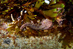 Seahorse (ShaunMYeo) Tags: night diving scubadiving gibraltar calpe underwaterphotography nightdive  gibilterra ikelite campbay      gibraltr  cebelitark gjibraltar ibraltaro hibraltar xibraltar giobrltar gibraltrs gibraltaras ibilt