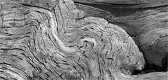 """Flowing"" wood, Economy Point, Nova Scotia... Iscorama anamorphic (Small Creatures) Tags: bw texture monochrome novascotia stump bayoffundy fundy treestump anamorphic cinemascope isco d40 economypoint nikond40 iscorama economynovascotia nikkorh85mm cumberlandcountynovascotia anamorphicmacro iscoramamacro anamorphiccloseup iscoramacloseup"