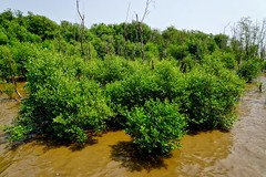 Mangroves by the sea in Bang Pu, Samut Prakhan, Thailand (UweBKK ( 77 on )) Tags: ocean trees sea brown green water thailand asia gulf sony shore southeast alpha dslr mangroves bang 77 muddy province slt pu samut bangpu samutprakhan prakhan