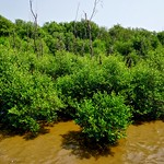 Mangroves by the sea in Bang Pu, Samut Prakhan, Thailand thumbnail