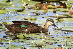 mother duck (Fat Burns ☮) Tags: bird fauna duck ducklings waterbird bribieisland australianbird pacificblackduck anassuperciliosa australianfauna buckleyshole nikond750 sigma150600mmf563dgoshsmsports sigmateleconvtc1401nik