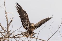 Juvenile Bald Eagle struggles to land - 21 of 27