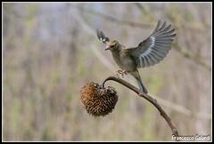Atterraggio!!!! (torben84) Tags: nature fauna fly nikon natura volo tamron avifauna parus maior decollo tamronlens cinciallegra fringuello atterraggio landig fringuelli 150600 d7200