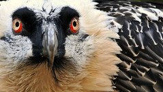 Vulturosophy (Nephentes Phinena) Tags: vogelparkwalsrode bartgeier beardedvulture nikond300s