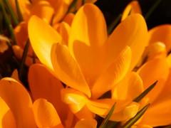 Lentekriebels (Landanna) Tags: flower spring lente blomst bloem forår lentekriebels natureawakens