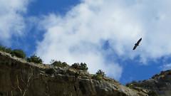 Avvoltoio in volo (Guly_Julien) Tags: espaa parco bird nature animal de spain natural natura canyon prey animali foz spagna birdofprey reserva gola navarra rapaz predatory rapace gole naturale riserva predatore lumbier rapaces rapaci avvoltoio