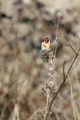 chardonneret; (papy53) Tags: goldfinch chardonneret basedeloisirsdestquentinenyvelines
