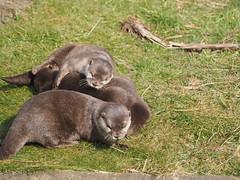 P3130985 (nottsmember) Tags: zoo otter whipsnade whipsnadezoo europeanotter