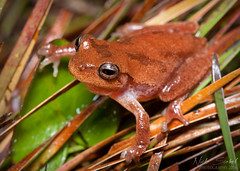 Pinewoods Treefrog (Nick Scobel) Tags: life nature call florida wildlife amphibian frog treefrog hyla pinewoods femoralis
