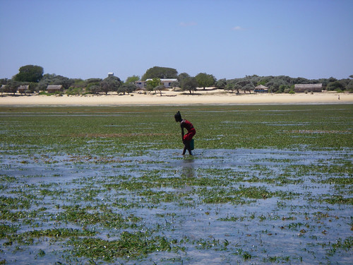 Girl collecting food from Seagrass measow- Madagascar