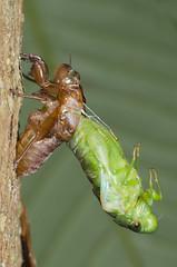 molting cicada (zaidirazak) Tags: macro nature closeup cicada wildlife insects malaysia molt zaidirazak