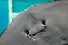 Smiley Stingray (Briahne Holland) Tags: ocean blue sea wild fish nature water smile animal mouth aquarium marine underwater stingray australia diving underside queensland alive seaworld gill goldcoast