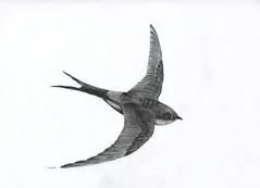 Swallow (Karwik) Tags: bird pencil pencils drawing swallow ptak owek rysunek jaskolka jerzyk olowek jaskka