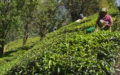 tea pickers (Rick Elkins Trip Photos) Tags: india workers tea kerala munnar teapickers