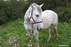 White beauty (Eleanna Kounoupa) Tags: horse white nature animals greece corfu ζώα ionianislands ελλάδα φύση άλογο λευκό κέρκυρα νησιάιονίου