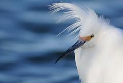 Snowy Egret (Mark Schwall) Tags: newjersey nikon nj brigantine manualfocus atlanticcounty snowyegret egrettathula edwinbforsythenwr oceanville d300s nikkor600mmf4ais