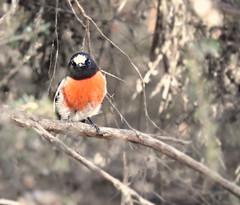 A bright speck in the bush (jeaniephelan) Tags: bird robin australianbird tasmanianbird malescarletrobin