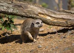 Meerkat 5 (TenPinPhil) Tags: canon zoo meerkat marwellzoo 2016 philipharris 5dmarkiii tenpinphil