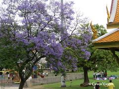 Lisboa ( Graa Vargas ) Tags: flower tree portugal purple lisboa rvore jacarand graavargas 2015graavargasallrightsreserved