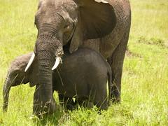 Elephants ! (Mara 1) Tags: africa baby green grass animals outdoors kenya wildlife mother mara elephants masai