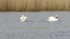 Swan Dance (Cosper Wosper) Tags: somerset levels muteswan westhay