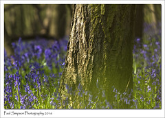 Woodland of Blue (Paul Simpson Photography) Tags: flowers blue trees england green nature beauty bluebells forest woodland lincolnshire flowering bluebell naturalworld scunthorpe springtime photosof photoof photosofnature sonya77 paulsimpsonphotography bluebellphotos april2016 spring2016 wheretofindbluebells wheretoseebluebells