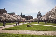 IMG_9438 (elenafrancesz) Tags: uw cherry blossoms wordless
