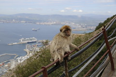 Barbary macaque, Rock of Gibraltar (x70tjw) Tags: monkey gibraltar barbarymacaque